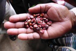 Red maize - Maya 300x199